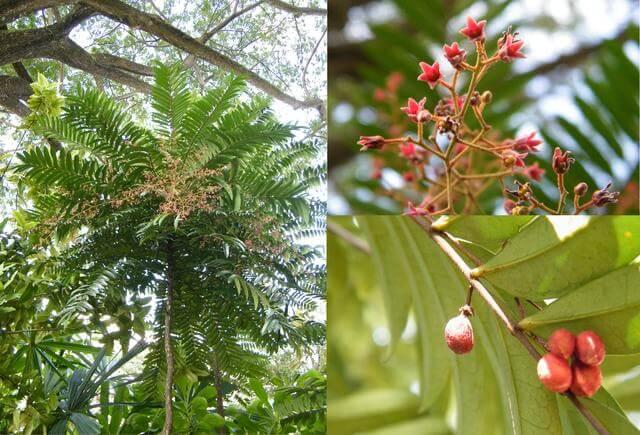 tanaman pasak bumi