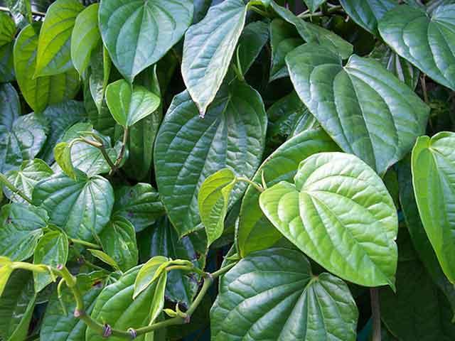 daun sirih untuk mengobati mata belekan