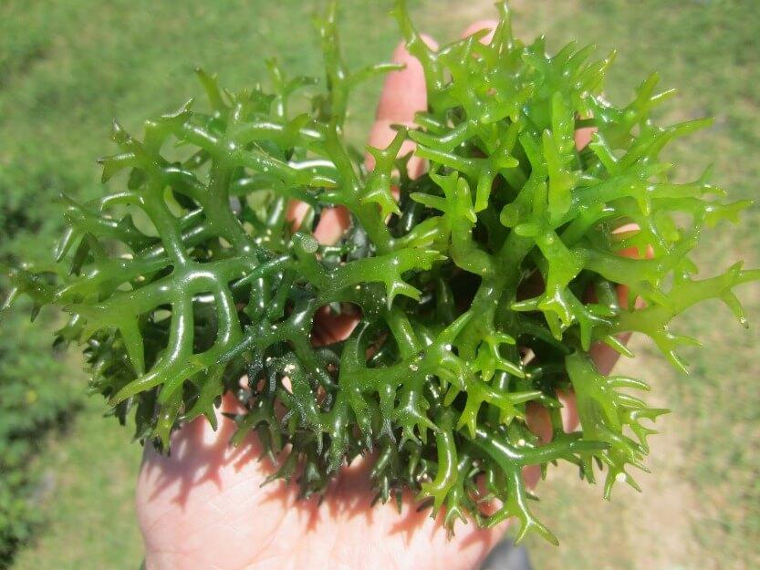 Manfaat Rumput Laut Untuk Kesehatan Dan Kecantikan