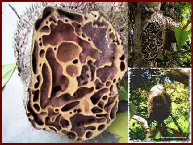 Sarang Semut, Obat Tradisional Untuk Penyembuhan Penyakit