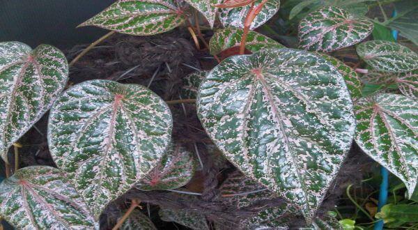daun sirih merah untuk keputihan