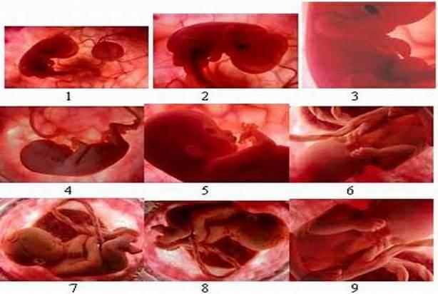 perkembangan bayi dalam rahim